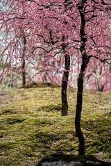 20160229-102656_5K_80 (pya) Tags: kyoto 京都 camellia plumblossoms jonangu 梅花 茶花 城南宮 椿花 weepingplumblossoms