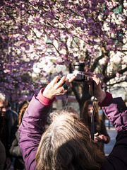 Captures (@lattefarsan) Tags: pink photographer sweden stockholm cherryblossom capture cherrytrees kungstrdgrden towardsthesky fotosondag iskyn fs160424