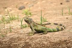 Iguana posing (caro_sternberg) Tags: outdoors la costarica lizard iguana fortuna arenal