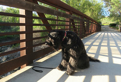 Benni looks for ducklings (Bennilover) Tags: dog dogs fence walking afternoon shadows looking watching bridges fences rusty ducklings trail april labradoodle railings benni
