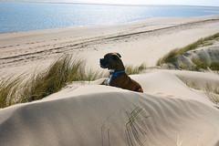 Ollie takes a Break (Adrian Costigan.) Tags: ireland sea irish dog seascape beach animal canon eos sand outdoor dune boxer