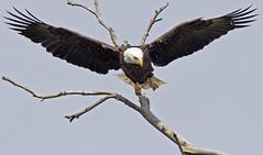Flight (zarb67) Tags: ohio canon flight raptor eagles birdsofprey americanbaldeagle birdinflight 1dx pinelakeeagles 600mmf4lisii14xiii