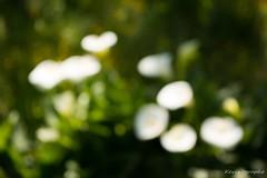 IMG_1361_GF (Kevin'ographe) Tags: flower nature fleur flou fantasticnature allnaturesparadise