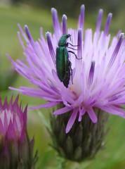 Psilothrix viridicaeruleus (bego vega) Tags: madrid macro animal insect thistle beetle escarabajo vega bv bego insecto cardo coleoptera elpardo coleptero dasytidae