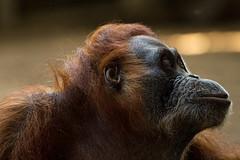 orangutan1_torontozoo_april16 (YenC) Tags: toronto animals zoo orangutan mammals primates