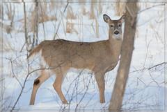 ((( Tree ~ 'Tween Doe & Me!))) (Wolverine09J ~ 1 Million + Views) Tags: fauna wildlife doe snowdeer arealgem goldstarawardlevel1 winterwhitetail frameit~level01 febwinternaturefotos