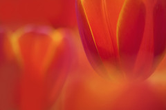 WORLD'S FAVOURITE (ajpscs) Tags: flower macro japan japanese tokyo spring petal  nippon    haru  springflower   seasonchange  showakinenkoen ajpscs  springtulip helloapril nikond750 ifeelsoclose tulipworldsfavourite