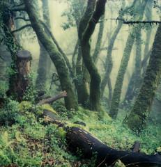 forest (lawatt) Tags: mist tree film fog bay moss oak instant trunks slr680 gen2 theimpossibleproject color600