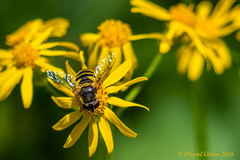 Hoverfly on a flower (danielusescanon) Tags: virginia hoverfly syrphidae huntleymeadowspark