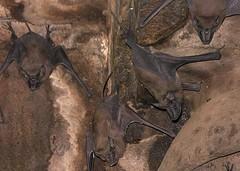 INDIEN, Fort Gwalior, Bats in the dark vaults, , 13611/6572 (roba66) Tags: travel wild india tourism nature animal animals fauna dark keller tiere reisen asia asien vampire urlaub visit dracula explore horror creature gwalior indien dunkel tier inde voyages fledermaus northernindia fledermuse roba66 indiennord indienfortgwalior