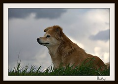 Rusty (patrick.verstappen) Tags: portrait dog pet animal photo yahoo google nikon flickr belgium image pat rusty lovely facebook picassa topmodel gingelom ipernity d7100 pinterest ipiccy