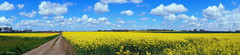 Campagne normande (Bould'Oche) Tags: sky panorama sun france green nature yellow clouds jaune plante walking soleil thomas path sony vert ciel alpha nuages paysage amateur campagne extrieur beau chemin champ pelouse 58 photographe colza photographies normande maheut sonyflickraward