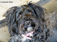 Lucy - Tibetan Terrier (samcol6) Tags: lumix sam south australia panasonic col fz150 samcol6