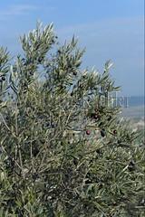 40080095 (wolfgangkaehler) Tags: france french europe european olive olives provence luberon gordes olivetree vaucluse 2016 provencealpescotedazur