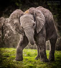 Baby Dumbo (photoga photography) Tags: england nature animals canon wildlife elephants animalkingdomelite photogaphotography