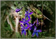 Upland Larkspur [delphinium nuttalianum] this plant is poisonous (CatChanel) Tags: delphinium larkspur upland nuttalianum
