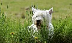 it's a fab dog's life...... (Suzie Noble) Tags: dog kim meg westie westhighlandterrier westies strathglass struy