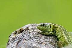 Sand Lizard (Lacerta agilis) Basking (Patrick Pohlmann Outdoorfotografie) Tags: sand sony lizard ii alpha 70300mm tamron 77 slt usd basking a77 reptil lacerta sonnenbad agilis zauneidechse