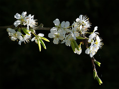 Spring is here (JFM.Iuminary) Tags: blossom greengage