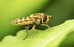 Yellow fly on green leaf. (strannik9211) Tags: color detail macro green eye nature up animal yellow closeup insect fly leaf sitting close wasp outdoor background wildlife small wing blurred mimicry entomology