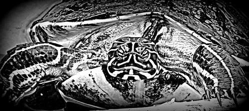Zebra Turtle ?