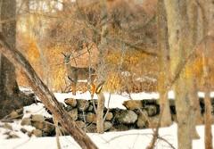 Golden Fawn (floralgal) Tags: nature animal doe deer ryenewyork marshlandsconservancyryenewyork landscapecomposition winterlandscapecomposition snowatmarshlandsconservancy