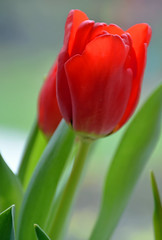 A Gift (littlestschnauzer) Tags: flowers red nature petals stem pretty