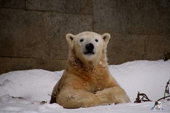Eisbr Fiete im Zoo Rostock 23.01.2016  04 (Fruehlingsstern) Tags: vienna zoo polarbear vilma eisbr erdmnnchen fiete zoorostock geparden baumknguru canoneos750 tamron16300