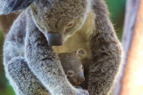 Koala en kind - Koala and her young, Whi by reisdier, on Flickr