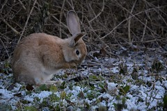Coniglio (naskerrimo) Tags: rabbit bunny natura animali coniglio terme levico levicoterme