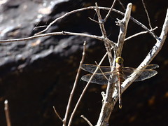 035A8724 (damianbuck54) Tags: dead dragonfly needle short hawker deformed opponent bluespotted adversaeschna brevistyla