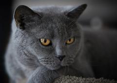 Conner 01/2015 (michaelbeyer_hh) Tags: cat britishshorthair sonnar5518za zeiss1855 sonya7s