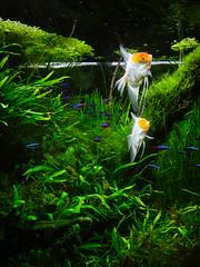 (Childish Wanderer) Tags: world plant water aquarium under aquatic angelfish neontetra aquascaping microsorumpteropusvneedleleaf