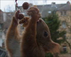 """mal ein paar Ringe auf Vorrat aufgefädelt ... (flixx-ak) Tags: germany deutschland squirrel eichhörnchen 2016 flixxakoffenbachammainhessen """"anvormeinemfenster"""" r0018780"""