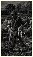 Mestiere antico (ennioborgato) Tags: agnello pecore pastore gregge agnelli