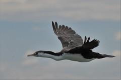 karuhiruhi - pied shag - Phalacrocorax varius (Steve Attwood) Tags: newzealand bird nature canon wildlife flight canterbury cormorant shag phalacrocoraxvarius piedshag karuhiruhi ashleyestuary auldwoodphotography
