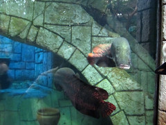 Arapaima (daryl_mitchell) Tags: autumn usa fish aquarium hotel shark lasvegas nevada reef mandalaybay arapaima 2015