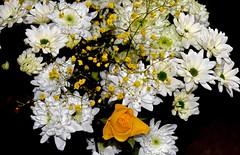 Yellow & White (Nige H (Thanks for 4m views)) Tags: flowers white nature rose yellow chrysanthemum