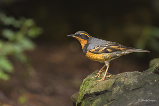 Varied Thrush- Grive à Collier- Ixoreus Naevius