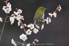 _IMG_EOS 1D X2010 (pechi-fieldtrip) Tags: nature birds japan