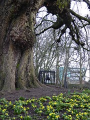 Old and New. (jenichesney57) Tags: old sky mist tree texture spring branches leicester ground panasonic soil bark trunk gnarled fense aconites