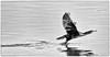 Grand Cormoran (Phalacrocorax carbo) (yann.dimauro) Tags: france animal nb fr extérieur oiseau rhone faune rhônealpes givors ornithologie