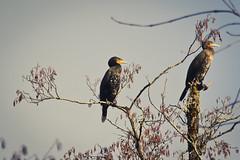 Mirador (N'Grid) Tags: bird cormorant oiseau 100400mm mirador cormoran 100400