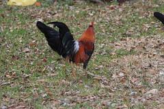 Canon200732 (godrudy6661) Tags: chickens chicken neworleans ninthward wildchicken feralchicken
