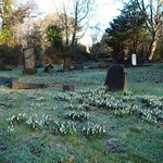 snowdrops in the frost