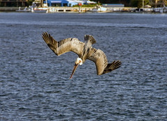 Pelican Diving For Food (Eddie Yerkish) Tags: ocean california county sky orange sun seascape bird beach nature water animal clouds sunrise landscape outdoors fly wings sand nikon rocks waves horizon dive feathers pelican newport hunt d7200