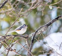 quabbinwinter2016-377 (gtxjimmy) Tags: winter bird mouse nikon tit massachusetts newengland reservoir tufted quabbin tamron songbird quabbinreservoir d600 watersupply nikond600 150600mm