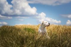 (Katarina Drezga) Tags: dog pets dogs animals countryside serbia perros dogphotography vojvodina srbija petphotography srem dogoargentino nikond3100 nikkor55300mm4556gvr