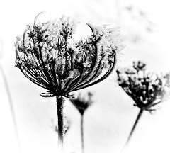 Wintry decorated ... (Kat-i) Tags: winter macro ice outside blackwhite kati eis katharina iceneedles schwarzweis wildemhre eiskristalle nikon1v1