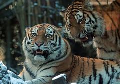 amurtiger amersfoort JN6A2676 (j.a.kok) Tags: tiger tijger amersfoort amurtiger amoertijger pantehratigrisaltaica